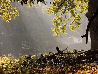 A Western Jackdaw, Corvus Monedula, in a Misty Autumn Landscape-Alex Saberi-Photographic Print