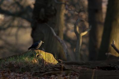 A Western Jackdaw, Corvus Monedula, Perching on a Tree Stump in London's Richmond Park-Alex Saberi-Photographic Print