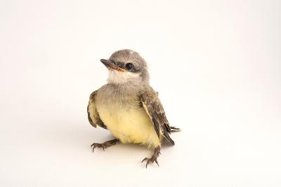 A Western Kingbird Chick, Tyrannus Verticalis, in Lincoln, Nebraska-Joel Sartore-Photographic Print