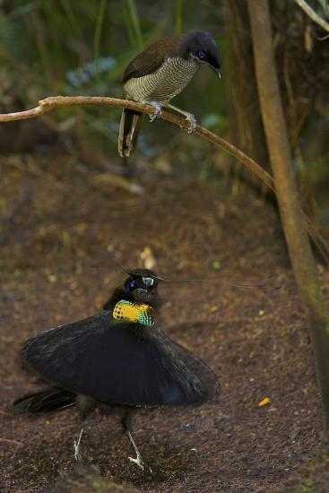 A Western Parotia Bird of Paradise Male Displays for a Female-Tim Laman-Photographic Print