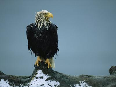 A Wet American Bald Eagle Perches on a Tree Branch-Klaus Nigge-Photographic Print