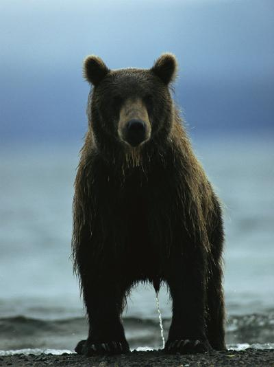 A Wet Brown Bear with Water Running off of its Fur-Klaus Nigge-Photographic Print