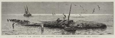 A Whale on Shore at Edkou, Near Alexandria, Off She Goes--Giclee Print