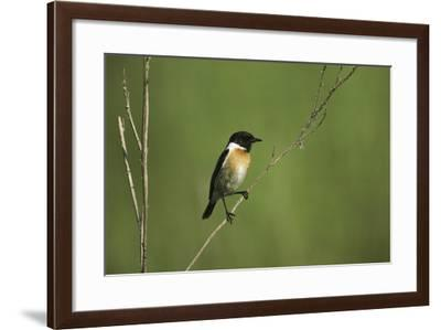 A Whinchat Perches on a Twig-Klaus Nigge-Framed Photographic Print