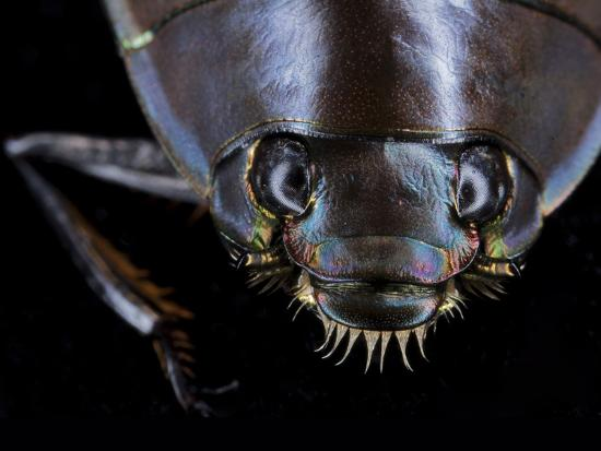 A Whirligig Beetle with Compound Eyes Collected from Gorongosa National Park-Joel Sartore-Photographic Print