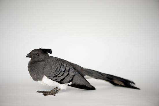 A White-Bellied Go-Away Bird, Corythaixoides Leucogaster-Joel Sartore-Photographic Print