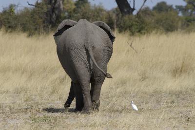 A White Bird Next to an Elephant, Upper Vumbura Plains, Botswana-Anne Keiser-Photographic Print