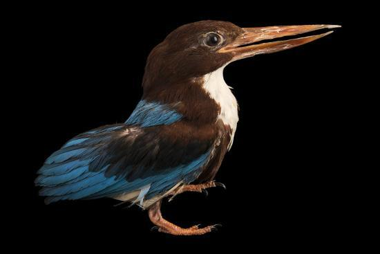 A white breasted kingfisher, Halcyon smyrnensis perpulchra, at Penang Bird Park.-Joel Sartore-Photographic Print