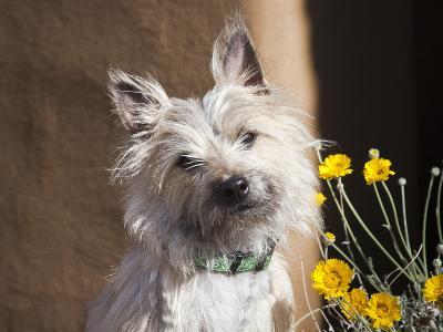 A White Cairn Terrier Sitting Next to Yellow Flowers-Zandria Muench Beraldo-Photographic Print
