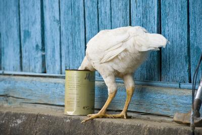 A White Chicken Thrusts its Head into a Tin Can in Front of a Turquoise Painted Rough Timber Wall,-Doug Meikle  Dreaming Track Images-Photographic Print