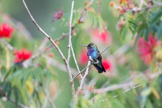 A White-Chinned Sapphire Hummingbird (Hylocharis Cyanus) Perches on a Branch in Brazil-Alex Saberi-Photographic Print