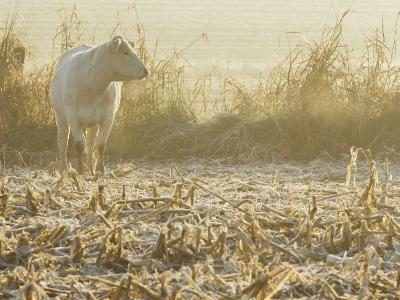 A White Cow Standing in a Harvested Cornfield-Kenneth Garrett-Photographic Print