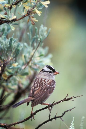 A White Crowned Sparrow, Zonotrichia Leucophrys, Perched on a Tree-Tom Murphy-Photographic Print