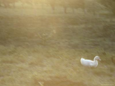 A White Duck Walks in the Grass-Jason Edwards-Photographic Print