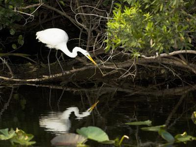 A White Egret Hunting in the Shadows in a Swamp-Mauricio Handler-Photographic Print