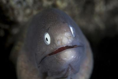 A White-Eyed Moray Eel Looks Out from a Reef Crevice-Stocktrek Images-Photographic Print