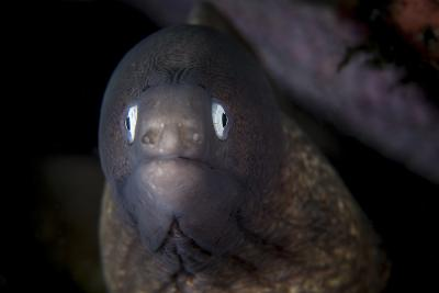 A White-Eyed Moray Eel Searches for Prey on a Reef-Stocktrek Images-Photographic Print