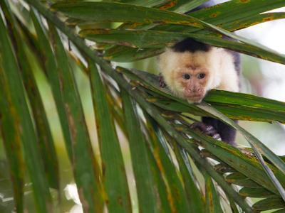 https://imgc.artprintimages.com/img/print/a-white-faced-capuchin-monkey-cebus-capucinus-behind-a-palm-frond_u-l-phu4y30.jpg?p=0