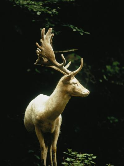 A White Fallow Stag in a Forest-James P^ Blair-Photographic Print