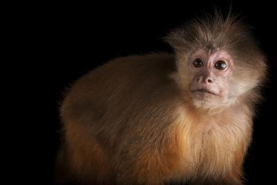 A White Fronted Capuchin, Cebus Albifrons, at Omaha's Henry Doorly Zoo and Aquarium-Joel Sartore-Photographic Print