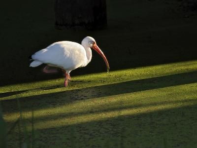 A White Ibis Hunts for Food in Shallow Duckweed-Covered Water-Raymond Gehman-Photographic Print