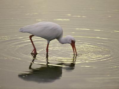 A White Ibis Sticks His Beak in the Water Looking for a Meal-Nicole Duplaix-Photographic Print