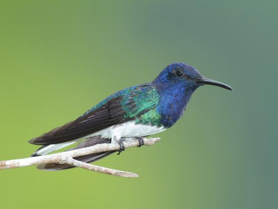 A White-Necked Jacobin, Florisuga Mellivora, Perched on a Tree Branch-George Grall-Photographic Print