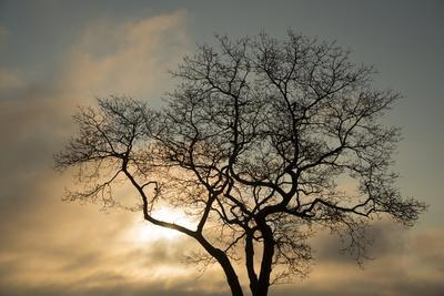 A White Oak Tree at Sunrise-Michael Melford-Photographic Print