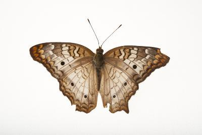 A White Peacock Butterfly, Anartia Jatrophae, a Native to Nebraska, at the Lincoln Children's Zoo-Joel Sartore-Photographic Print