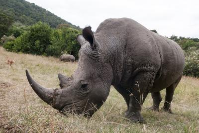 A White Rhinoceros, Ceratotherium Simum, in Masai Mara Rhino Sanctuary-Sergio Pitamitz-Photographic Print