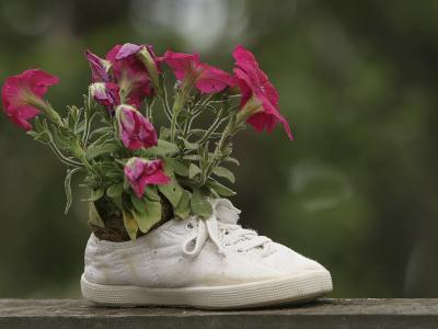 A White Shoe Used as a Flower Pot with Pink Blossoms--Photographic Print
