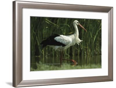 A White Stork Striding in a Freshwater Pond-Klaus Nigge-Framed Photographic Print