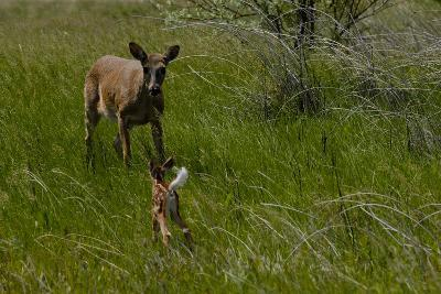 A White-Tail Deer Fawn Runs Towards its Mother-Michael Forsberg-Photographic Print