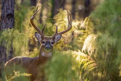 https://imgc.artprintimages.com/img/print/a-white-tailed-buck-deer-odocoileus-virginianus-watches-for-other-bucks-during-the-winter-rut_u-l-pwd5k50.jpg?p=0