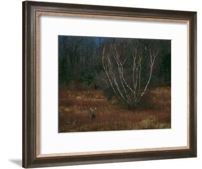 A White-Tailed Deer Buck Standing Near a Birch Tree in a Meadow-Raymond Gehman-Framed Photographic Print