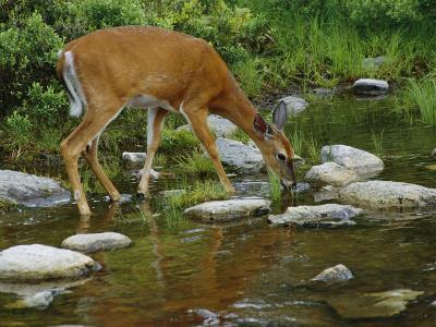 A White-Tailed Deer Drinks from a Stream-Phil Schermeister-Photographic Print