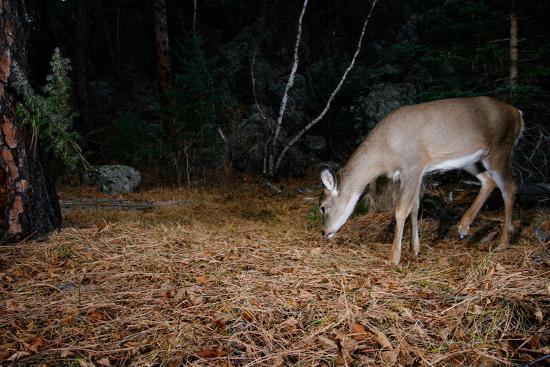 A White-Tailed Deer Forages in the Forest at Night-Michael Forsberg-Photographic Print