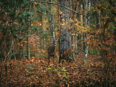 A White-Tailed Deer in an Upland Hardwood Forest-Raymond Gehman-Photographic Print
