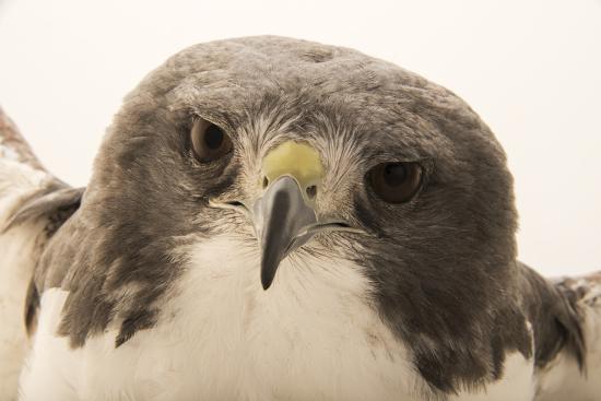 A white tailed hawk, Geranoaetus albicaudatus hypospodius-Joel Sartore-Photographic Print