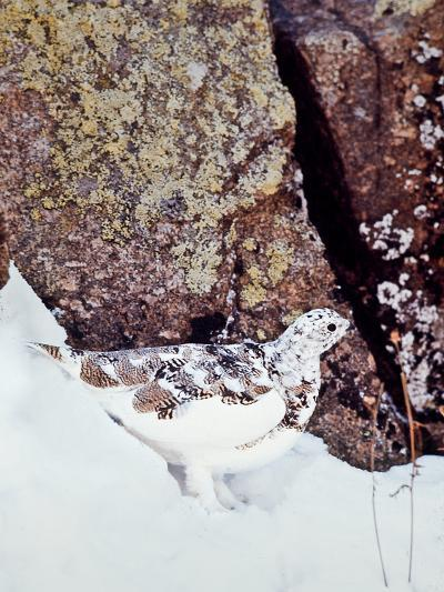 A White-tailed Ptarmigan, Lagopus Leucurus-David Hiser-Photographic Print