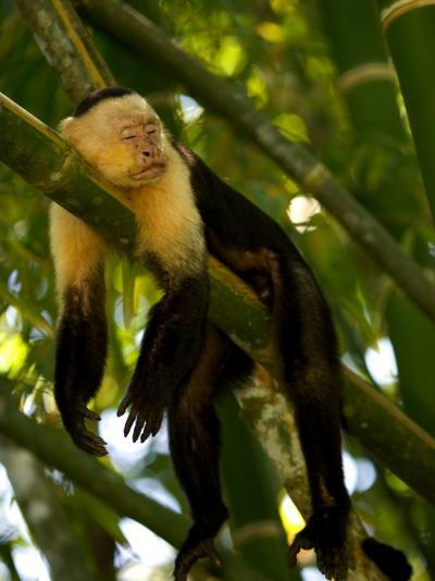 A White-Throated Capuchin Monkey Sleeping on a Bamboo Stalk (Cebus Capucinus)-Roy Toft-Photographic Print