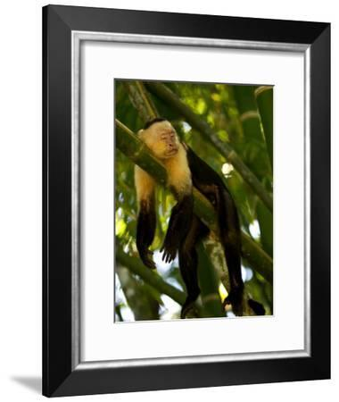 A White-Throated Capuchin Monkey Sleeping on a Bamboo Stalk (Cebus Capucinus)-Roy Toft-Framed Photographic Print