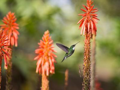 A White-Throated Hummingbird Feeds from Flower in Ibirapuera Park-Alex Saberi-Photographic Print