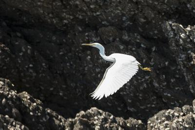 A White Western Reef Heron Taking Off from a Sandstone Escarpment Covered with Oysters-Jeff Mauritzen-Photographic Print