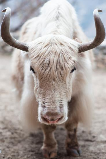 A white yak (Bos grunniens or Bos mutus) in Nepal.-Martin Edstrom-Photographic Print