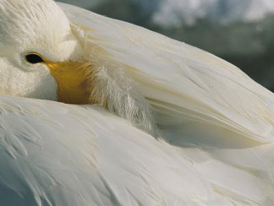 A Whooper Swan (Cygnus Cygnus) Keeps an Eye out as it Takes a Nap-Tim Laman-Photographic Print