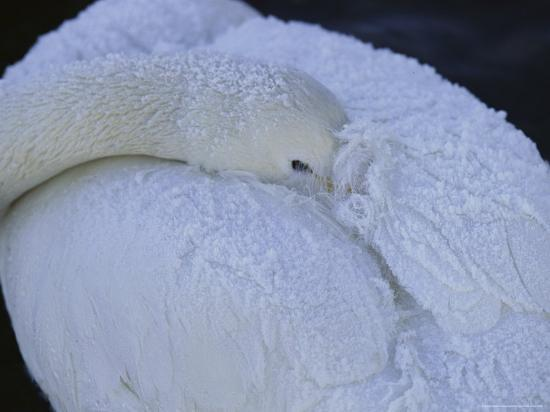 A Whooper Swan Resting with Bill Tucked under Wings-Tim Laman-Photographic Print