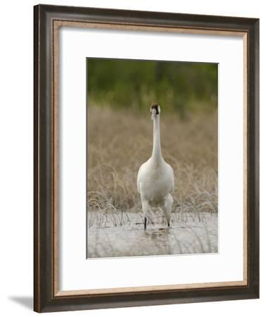 A Whooping Crane Female Wading in the Water-Klaus Nigge-Framed Photographic Print