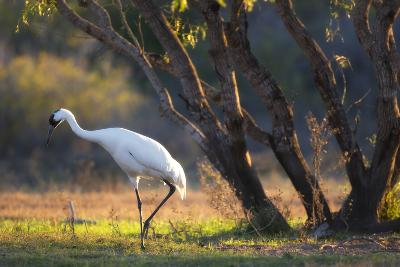 A Whooping Crane, Grus Americana, Foraging in a Field-Robbie George-Photographic Print