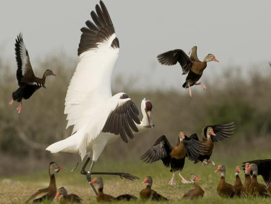 A Whooping Crane Scatters Black-Bellied Whistling-Ducks-Klaus Nigge-Photographic Print